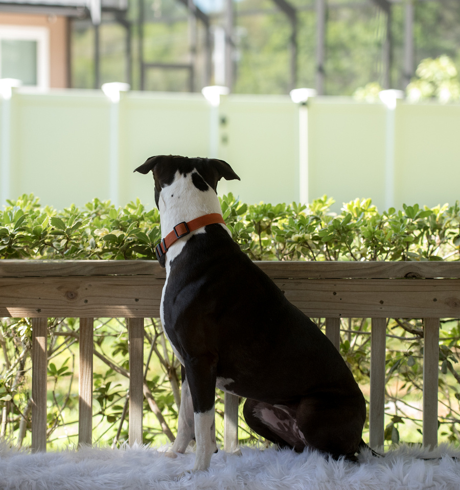 Back of blue nose pit bull on bench