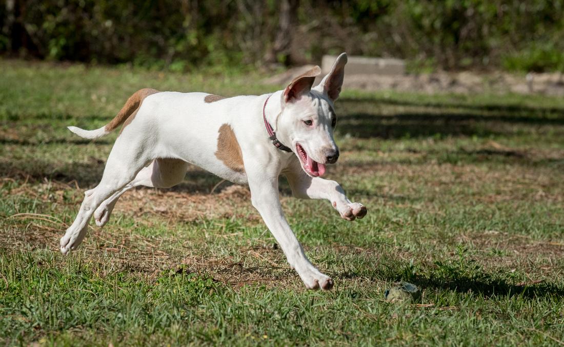 Pitbull mix puppy running