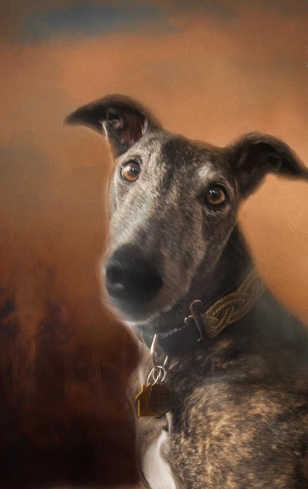 Greyhound - Former Derby Lane racer