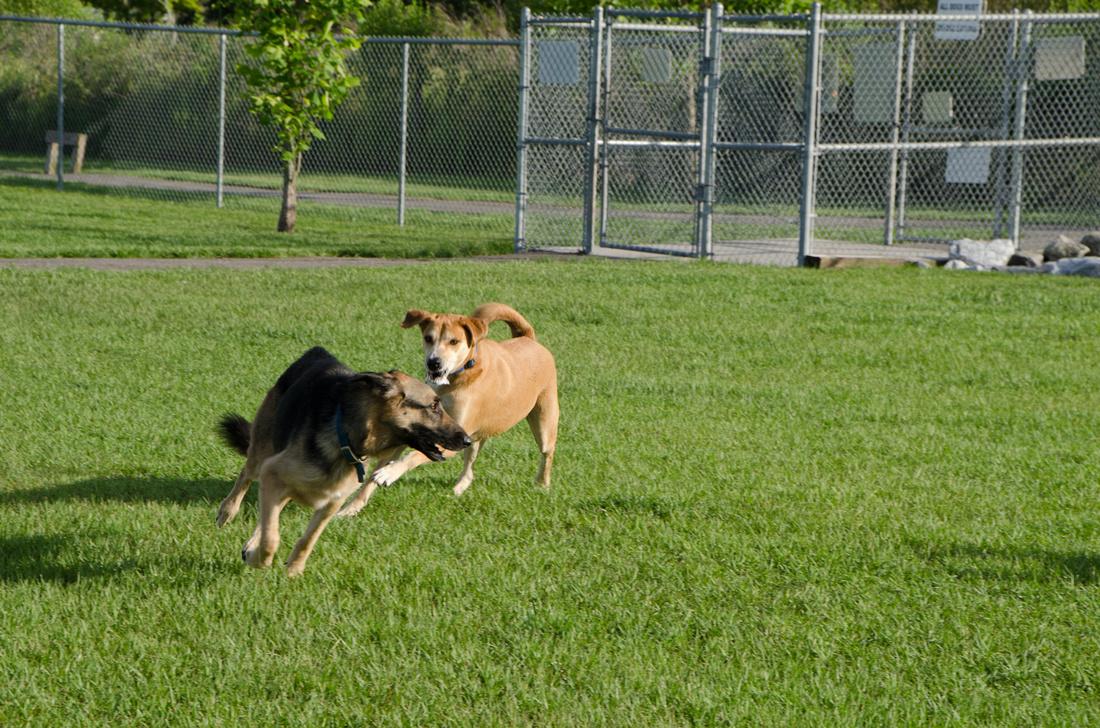 Dogs running at dog park