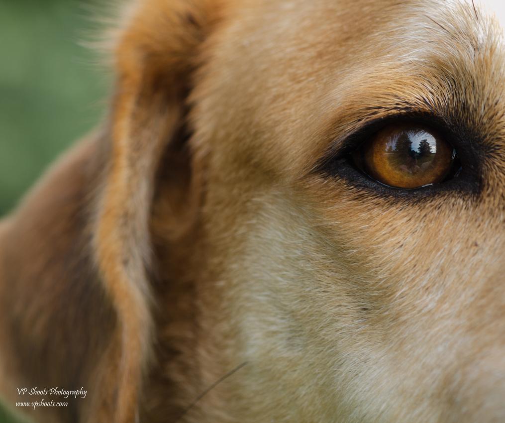 Dog eye up close