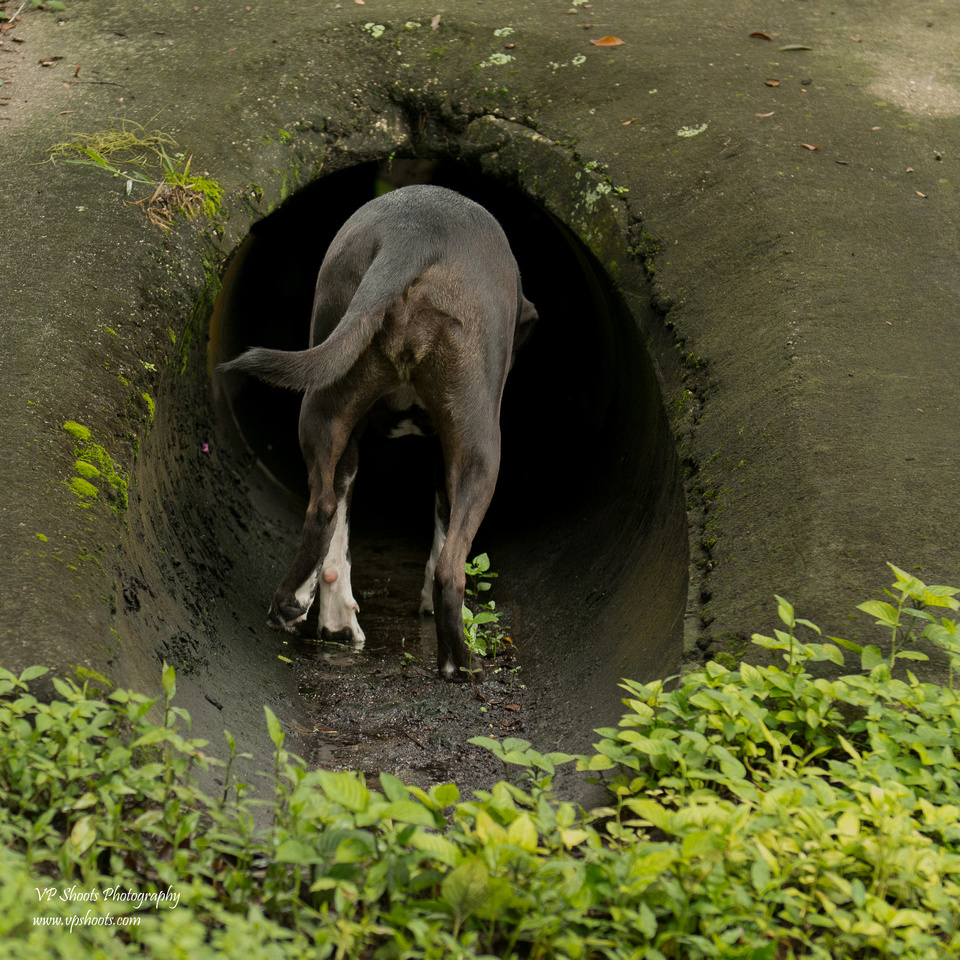 Dog by drain pipe