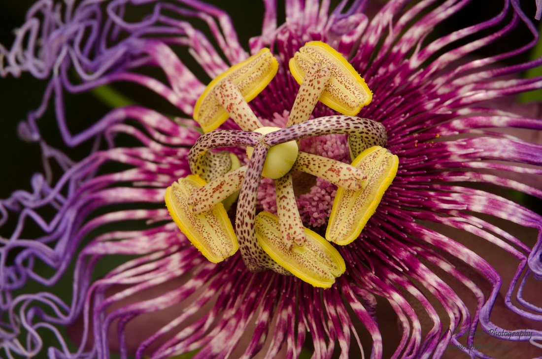 center of passion flower
