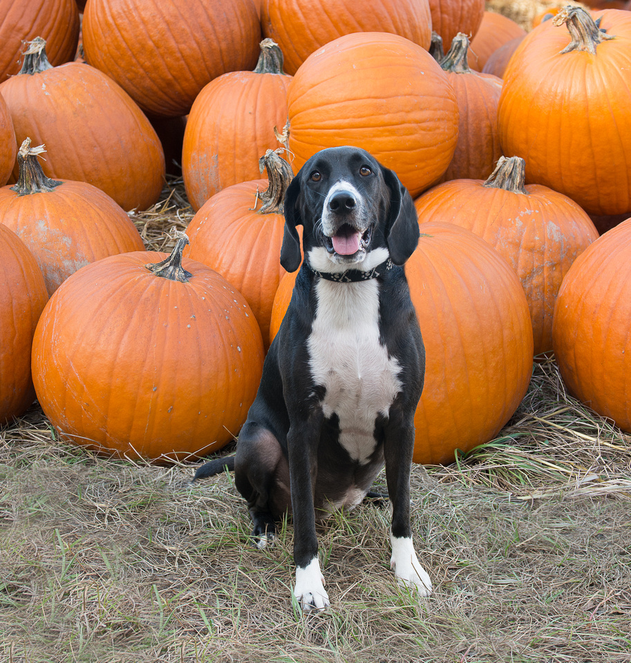Dog sitting with bunch of pumpkins