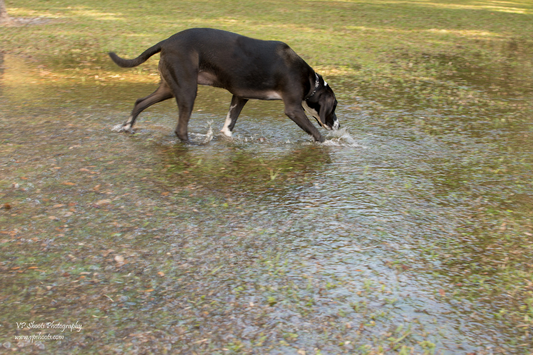 Dog finds water puddle