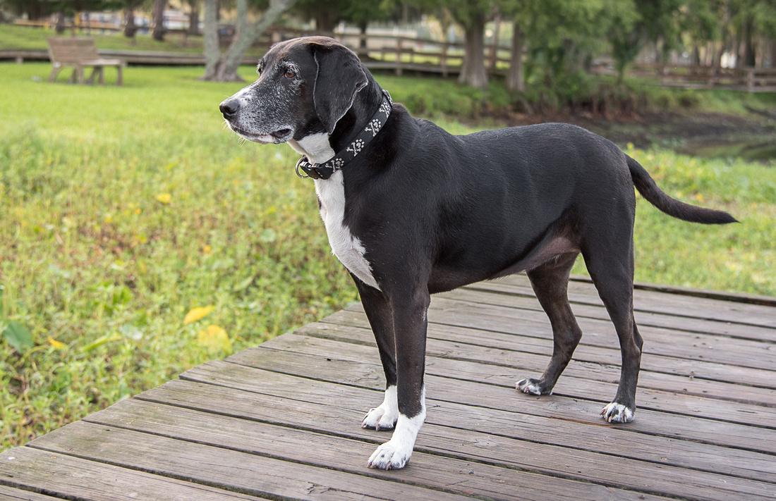 Hound dog standing on boardwalk
