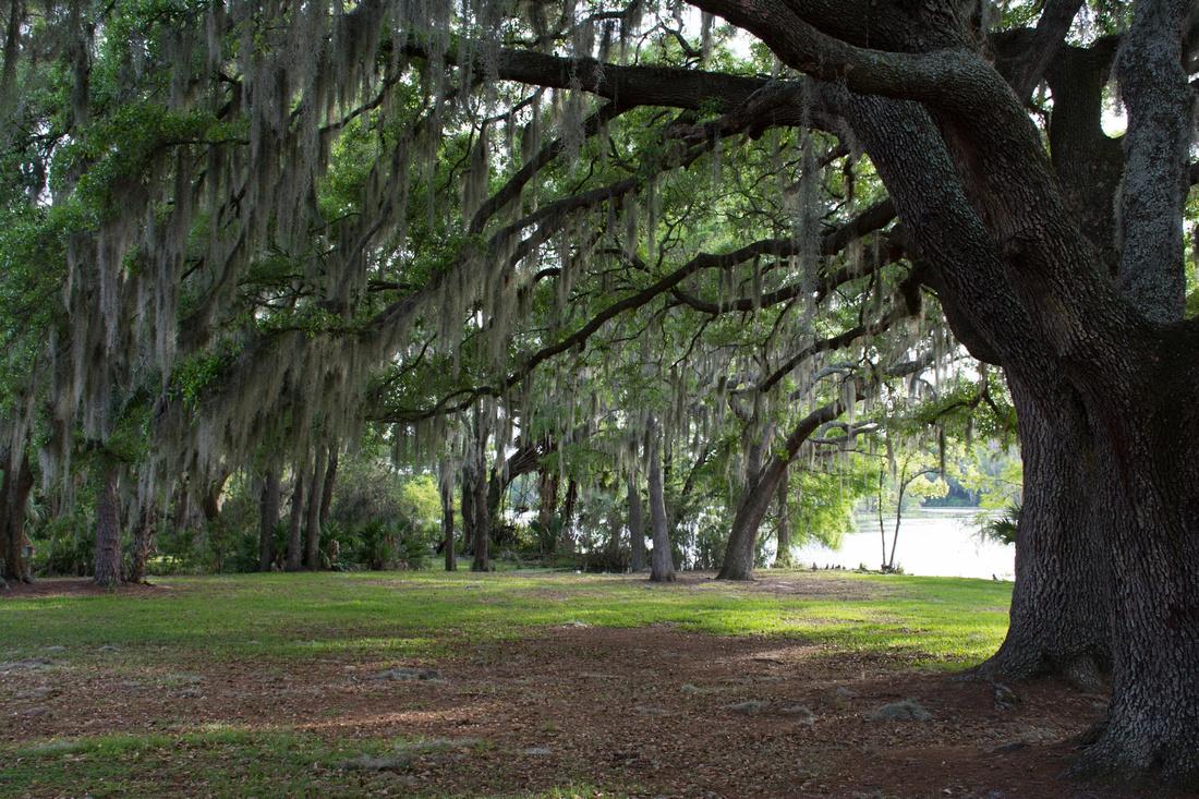 Large oak trees near river