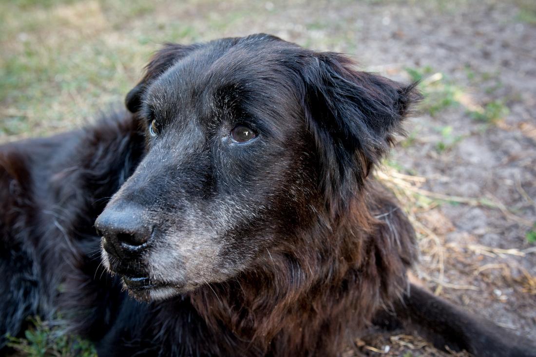 Maggie, a senior black dog