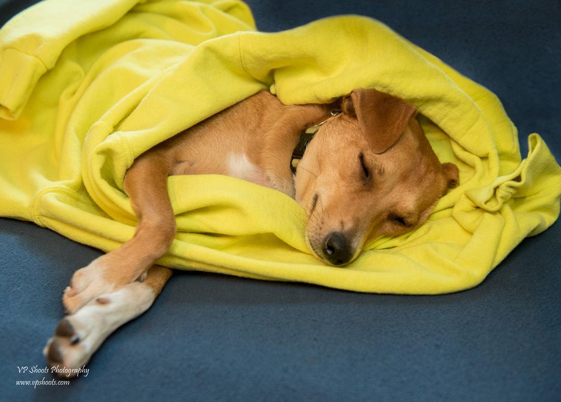 Dog framed in yellow sweatshirt