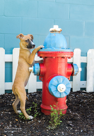 Puppy with fire hydrant