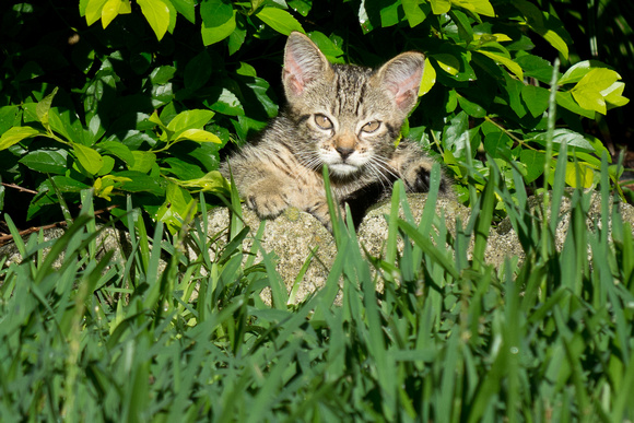 Outdoor tabby kitten in the grass