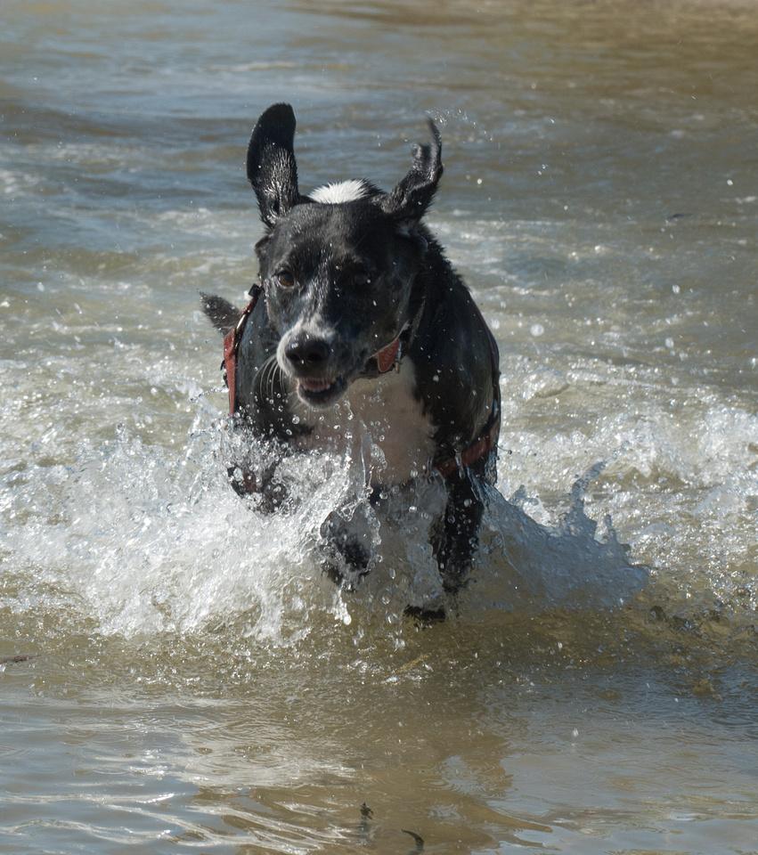 Abby running through the water